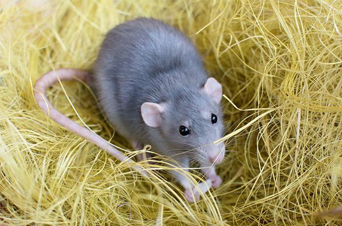 Tikus Bisa Sebabkan Demam Tiba-Tiba