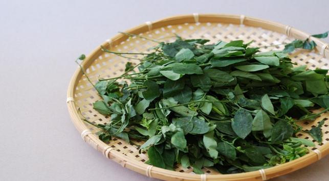manfaat daun katuk, kesehatan ibu hamil, kandungan dalam daun katuk, makanan sehat,daun katuk