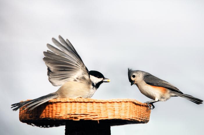 ditularkan lewat unggas, flu burung berbahaya?